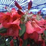 Rhododendron 'Fabia' - Find Azleas,Camellias,Hydrangea and Rhododendrons at Loder Plants